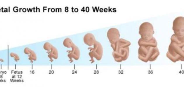 نتيجة بحث الصور عن مراحل تكوين الجنين بالصور شهر بشهر