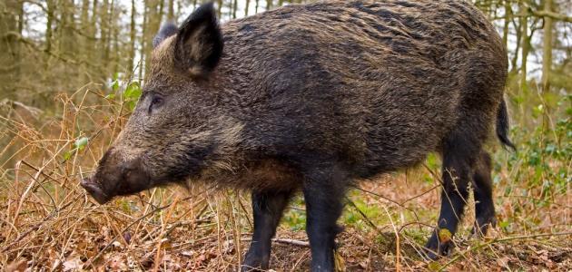 صيد الخنزير البري
