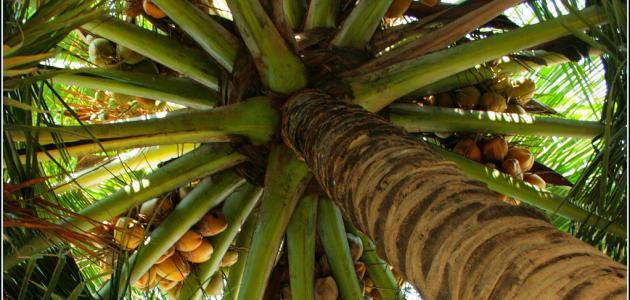 شجرة جوز الهند
