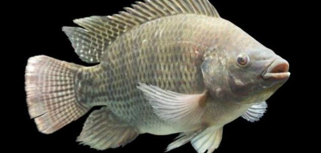 ذاكرة السمك