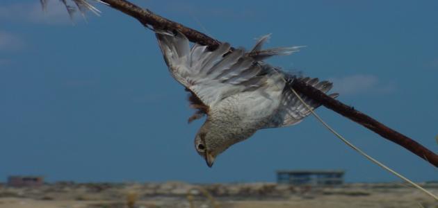 صيد الطيور المهاجرة