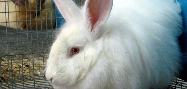 مشروع تربية الأرانب