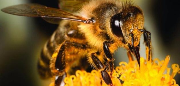كم عدد عيون النحل
