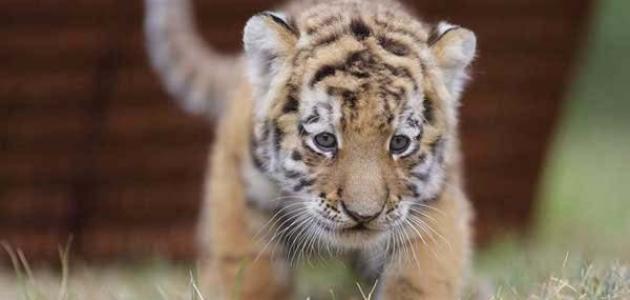 صغير النمر