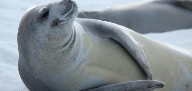 كيف تأكل فقمة البحر الحيوانات ذات القشرة