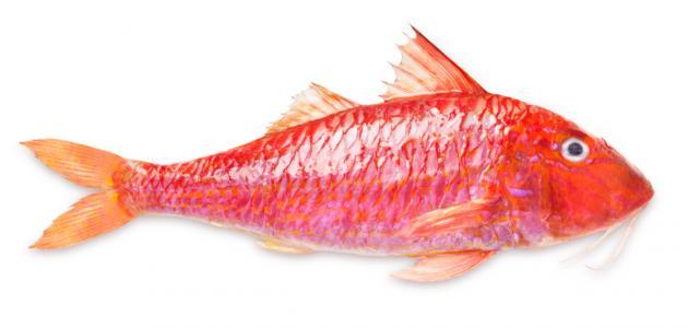 سمك سلطان ابراهيم