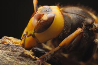 عيون النحلة